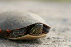 черепаха 2 Стоковые Изображения RF