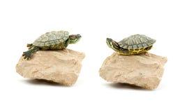 черепаха Стоковое Изображение RF