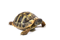 черепаха Стоковые Фото
