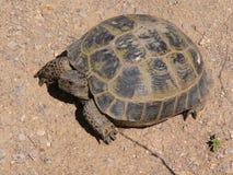 черепаха Стоковое Фото