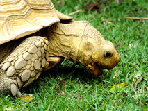 Черепаха Стоковые Изображения