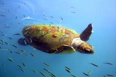 черепаха agostoli Стоковая Фотография