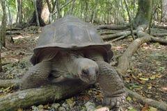 Черепаха Aldabra гигантская в лесе Стоковое Фото