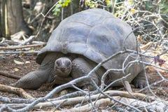Черепаха Aldabra гигантская в лесе Стоковое фото RF