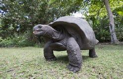 Черепаха Aldabra гигантская в Сейшельских островах Стоковые Изображения RF
