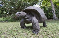 Черепаха Aldabra гигантская в Сейшельских островах Стоковое Изображение