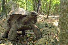 Черепаха Aldabra гигантская между деревьями Стоковая Фотография RF