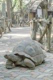 Черепаха Aldabra гигантская на тротуаре стоковая фотография