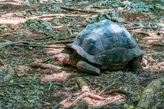 Черепаха Aldabra гигантская Стоковые Фото