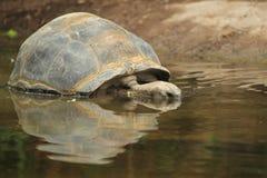 Черепаха Aldabra гигантская Стоковое Фото