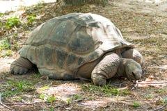 Черепаха Aldabra гигантская Стоковые Изображения