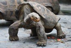 Черепаха Aldabra гигантская Стоковые Изображения RF