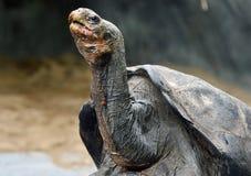 Черепаха Aldabra гигантская Стоковые Фотографии RF