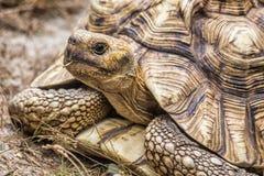 Черепаха Aldabra гигантская (Aldabrachelys Gigantea) Стоковое Изображение