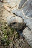 Черепаха Aldabra гигантская, Aldabrachelys gigantean Стоковые Фотографии RF