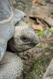 Черепаха Aldabra гигантская, Aldabrachelys gigantean Стоковая Фотография RF