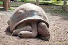 Черепаха Aldabra гигантская (gigantea Aldabrachelys) Стоковое Фото