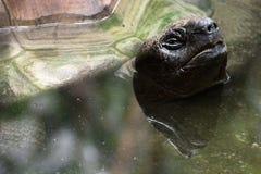Черепаха Aldabra гигантская (gigantea Aldabrachelys) Стоковая Фотография