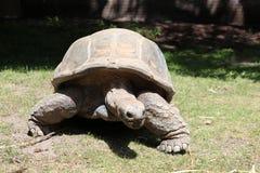 Черепаха angoras Знание природы Через глаза природы стоковое изображение