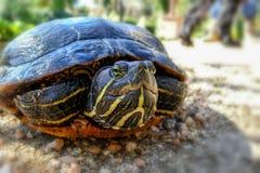 Черепаха (concinna Pseudemys) Стоковые Фотографии RF