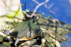Черепаха Cooter Флориды (Pseudemys) Стоковая Фотография RF