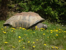 черепаха galapagos гигантская Стоковое фото RF