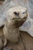 черепаха galapagos Стоковые Фото
