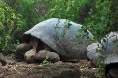 черепаха galapagos Стоковое Изображение RF