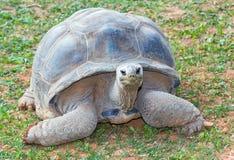 черепаха gigantea aldabrachelys aldabra гигантская Стоковые Изображения