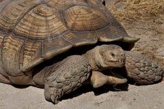 черепаха gigantea aldabrachelys aldabra гигантская Стоковое Изображение RF