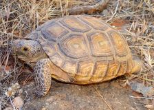 черепаха gopherus пустыни agassizii Стоковые Изображения