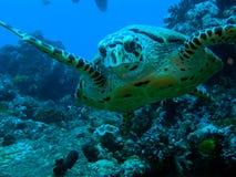 черепаха hawksbil Стоковые Фотографии RF