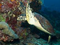 Черепаха Hawksbill Индийского океана Стоковые Фото