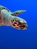 черепаха hawksbill Стоковое Изображение