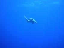 Черепаха Hawksbill Стоковые Фотографии RF