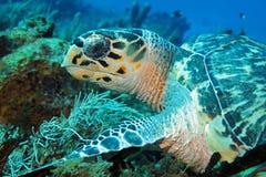Черепаха Hawksbill стоковые изображения rf