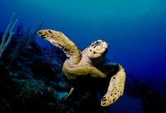 черепаха hawksbill Стоковое Изображение RF