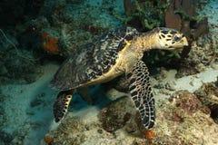 черепаха hawksbill cozumel Стоковое Изображение RF