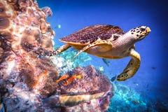 Черепаха Hawksbill - imbricata Eretmochelys стоковое фото
