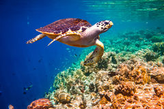 Черепаха Hawksbill - imbricata Eretmochelys стоковое изображение rf