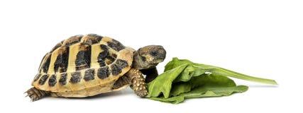 Черепаха Hermann есть изолированный салат, Стоковое Фото