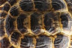 Черепаха - horsfieldii testudo - конец carapace вверх стоковое изображение rf