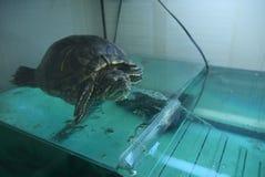 Черепаха krasnoukhy Стоковые Фотографии RF
