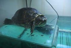 Черепаха krasnoukhy Стоковые Изображения RF