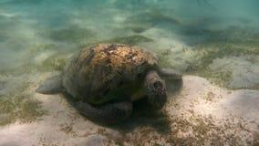 черепаха mydas marsa Египета chelonia bareika зеленым принятая морем Красное Море, Египет Стоковая Фотография