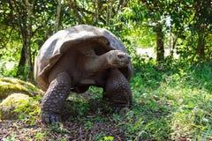 черепаха nigra geochelone galapagos латинская названная стоковые фото