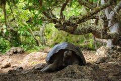 черепаха nigra geochelone galapagos латинская названная стоковая фотография