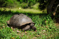 черепаха nigra geochelone galapagos латинская названная стоковое изображение rf