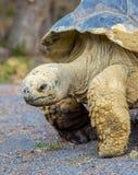 черепаха nigra geochelone galapagos латинская названная Стоковое фото RF