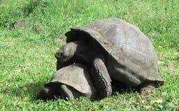 Черепаха pagos ¡ Galà Стоковая Фотография RF